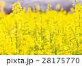 菜の花 菜の花畑 アブラナの写真 28175770