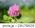 赤クローバー 花 ムラサキツメクサの写真 28176629