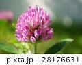 赤クローバー 花 ムラサキツメクサの写真 28176631
