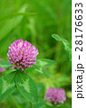 赤クローバー 花 ムラサキツメクサの写真 28176633