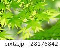 新緑(モミジ) 28176842
