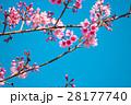 お花 フラワー 咲く花の写真 28177740