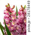 シンビジューム 洋蘭 花の写真 28178449