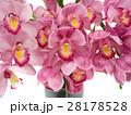 シンビジューム 洋蘭 花の写真 28178528
