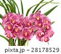 シンビジューム 洋蘭 花の写真 28178529