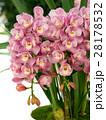 シンビジューム 洋蘭 花の写真 28178532