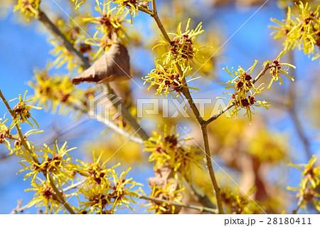 マンサクの花 28180411