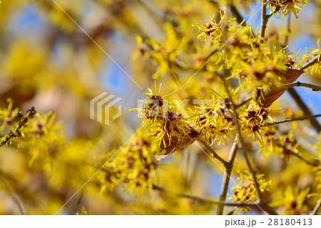マンサクの花 28180413