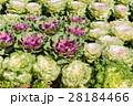 紫色 ケール 葉牡丹の写真 28184466