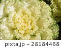 葉 ケール 葉牡丹の写真 28184468
