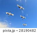 タンチョウ 飛翔 青空の写真 28190482