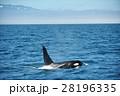 知床の海を泳ぐシャチ 28196335