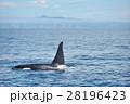 知床の海を泳ぐシャチ 28196423