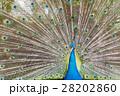 羽を広げるインドクジャク 28202860