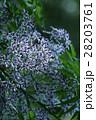 栴檀 センダン 植物の写真 28203761