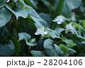 蕺草 ドクダミ 花言葉は「野生」 28204106