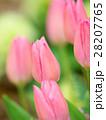 ピンクのチューリップ 28207765