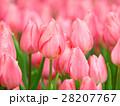 ピンクのチューリップ 28207767