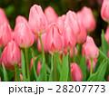 ピンクのチューリップ 28207773
