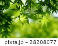 新緑 もみじ 28208077