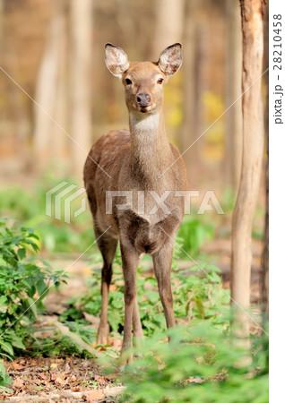 Deer in autumn forest 28210458