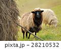 ひつじ ヒツジ 羊の写真 28210532