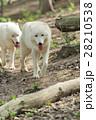 動物 野生動物 おおかみの写真 28210538