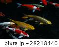 Carp fish swimming in the pond 28218440
