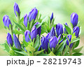 リンドウ 青花 花の写真 28219743