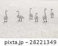 6匹の白鳥 28221349