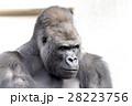 ゴリラ ニシローランドゴリラ 哺乳類の写真 28223756