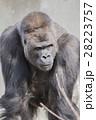 ゴリラ ニシローランドゴリラ 哺乳類の写真 28223757