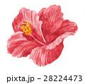 花 トロピカル ハイビスカスのイラスト 28224473