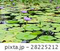 Beautiful purple lotus in the pond 28225212