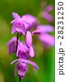 紫蘭 シラン 花の写真 28231250