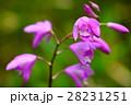 紫蘭 シラン 花の写真 28231251