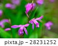 紫蘭 シラン 花の写真 28231252
