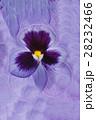 フラワー 花 パンジーの写真 28232466