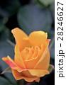 可憐な黄色い薔薇の花 28246627