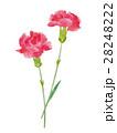 カーネーション 水彩 花のイラスト 28248222