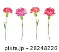 カーネーション 水彩 花のイラスト 28248226