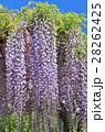 新緑と藤の花 28262425