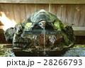 江島神社奥津宮 手水舎の亀 28266793