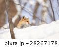 雪の上のキタキツネ 28267178