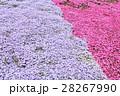 芝桜 28267990