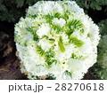 ホワイト ケール 葉牡丹の写真 28270618