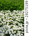 清楚感溢れるセラスチウムの白い花 28275199