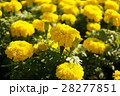 かわいい黄色のお花(Pretty Yellow Flowers) 28277851