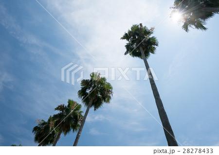 長居植物園の常夏のヤシの木(大阪の風景) 28278433