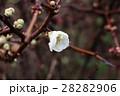 ボケの花:大阪府枚方市天の川河川敷 28282906
